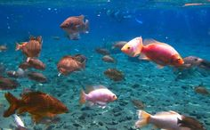 Freshwater fish: The 1.5-meter to 3-meter deep pond has an array of fish that can weigh 10 kilograms each. These amazing...