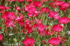 Lachez Les Watts - fleurs de lin rouge