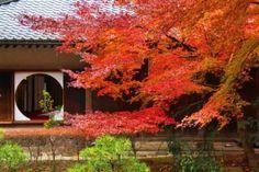 kamakura#北鎌倉#明月院#紅葉#あじさい寺