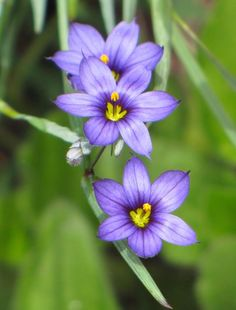 Triple Purple Photograph - Blue Eyed Grass  Love seeing this wildflower come up in the gardens. MTBobbins Photography - Photo by Nicole.