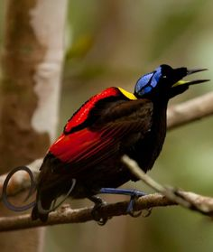 Wilson's Bird-of-paradise, a bird of many angles!