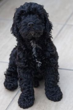 As a combination of Labrador and Poodle parents, the Labradoodle is one of the most popular newer breeds in the world today! Cockapoo Grooming, Cockapoo Puppies, Black Cockapoo, Black Labradoodle Puppy, Baby Animals, Cute Animals, Labrador, Cute Dogs And Puppies, Doggies