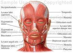 Muscles of the Face (Facial Muscles) - Medical Illustration, Human ...
