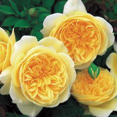 English Roses Teasing Georgia - David Austin Rose - Rosa - The Garden Centre Group