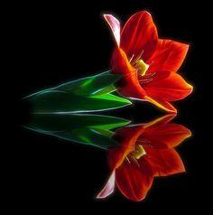 ~~ Tulip Reflection ~~