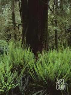 Deer Fern Encircle a Tree in a Vancouver Island Rain Forest, British Columbia, Canada Photographic Print by Sam Abell at Art.com