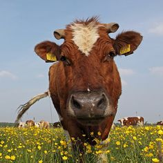 picture of Dutch Cow