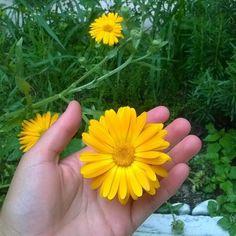 Las #flores del #huerto Aquí la bella #caléndula #medicinal #controlaplagas #hermosa #urbanfarming #imepp #barriosanmarcos #Aguascalientes http://ift.tt/2cdjFsE