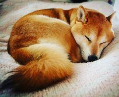 Shiba Inu...Good night..Sweet Dreams