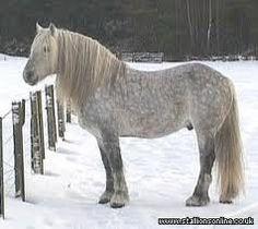 highland pony - amazing breed