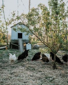 Last week I sold 4 of our young egglaying hens. The corona-crisis seems to have sparked a more wide-spread interest in self-sufficiency… Vie Simple, Farms Living, Wild Hair, Hobby Farms, Slow Living, Chickens Backyard, Hens, Farm Life, Camilla