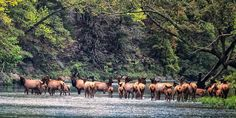 Elk watching in Boxley Valley, Arkansas. This is the one and only heard of Elk in the state and they live in the Buffalo National River Park and are protected from hunting. This photo shows the elk enjoying the National River.