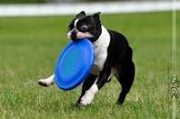 boston terriers - Google Search