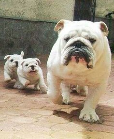 Hey....wait for ussss......... #English #bulldog #puppy #dogs