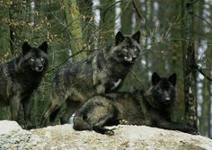 Black beauties #wolf #wolves #animals