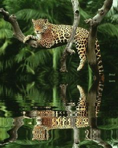 Anything and everything anytime _ The jaguar , is a big cat, and is the only Panthera species found in the Americas. The jaguar is the third-largest feline after the tiger and the lion, and the largest in the Western Hemisphere. The jaguar's present. Nature Animals, Animals And Pets, Cute Animals, Rainforest Animals, Amazon Rainforest, Jungle Animals, Wild Animals, Beautiful Cats, Animals Beautiful