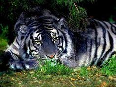 tire azul dado por una mutacion de genes entre una tigra blanca con un tigre de bengala