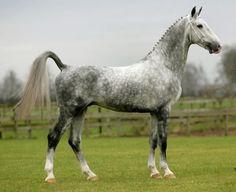 Tuigpaard - stallion Victory