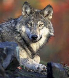 世界のオオカミがもりもりでてくるオオカミ図鑑 : カラパイア