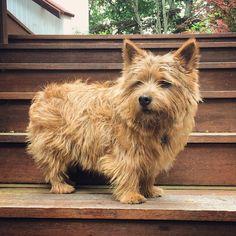 Norwich Terrier @teddythenorwich on Instagram