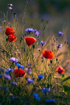 Red and black together (red poppies with black centers). Blues with a violet tinge (cornflowers). Floral prints (poppies and cornflowers in field). Wild Flowers, Beautiful Flowers, Poppy Flowers, Purple Flowers, Wild Poppies, Beautiful Dream, Field Of Poppies, Field Of Flowers, Meadow Flowers
