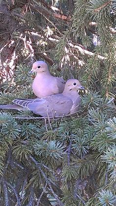 morning doves