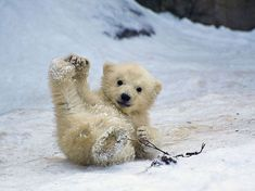 Este filhote de urso polar de 4 meses brincava na neve no zoo de Moscou quando parecia posar para fotos dos visitantes  Foto: The Grosby Group