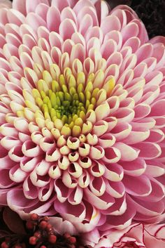 Chrysanthemum....my birth month Flower!