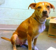 Petango.com  Meet Amber a 2 years Terrier American Pit Bull \/ Mix available for adoption in DECATUR GA