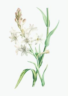 Plum Flowers, Small White Flowers, Botanical Flowers, Botanical Prints, Clover Flower, Pea Flower, Botanical Drawings, Botanical Illustration, Flor Angelica