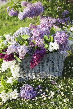 Freshly cut lilacs in a blue wicker basket