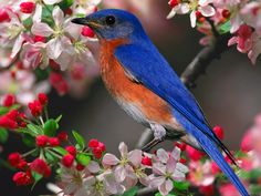 Blue Bird Pictures Biography There are three species of these colorful North American birds. Eastern and western bluebirds have a reddish . Beautiful Bird Wallpaper, Most Beautiful Birds, Pretty Birds, Love Birds, Birds Pics, Beautiful Flowers, Stunning Wallpapers, Small Birds, Pretty Wallpapers