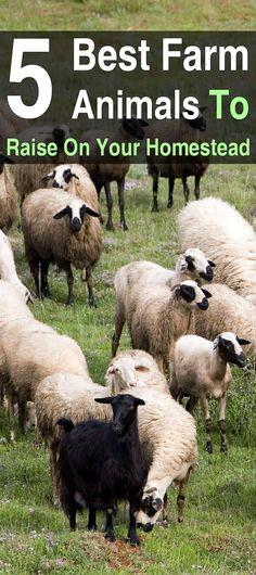 5 Best Farm Animals to Raise on Your Homestead