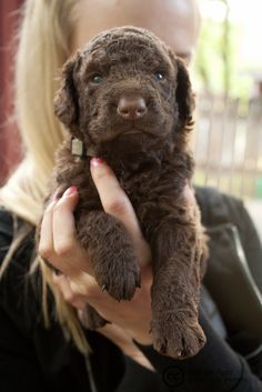 Precious Little Curly Coated Retriever Puppy - http://www.ruffingtonpost.com/precious-little-curly-coated-retriever-puppy/