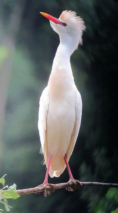 Bubulcus ibis / Garcita bueyera / Cattle Egret | Flickr - Photo Sharing!
