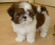 Pics For > Brown And White Shih Tzu Puppies