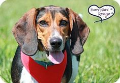 Lee's Summit, MO - Basset Hound/Beagle Mix. Meet Gus, a dog for adoption. http://www.adoptapet.com/pet/18647237-lees-summit-missouri-basset-hound-mix