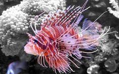 Questo pesce potrebbe essere l'incubo dei nostri bagni a mare se lo vedete scappate Fino adesso non s'era mai vista una cosa simile ma già da quest'anno dopo essere passato pesce veleno