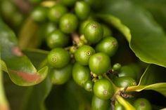 Aqui está a Prova Definitiva de que o Café verde ajuda controlar os níveis de açúcar no sangue!