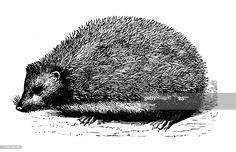 Antique Illustration Hedgehog Illustration #Ad, , #sponsored, #Antique, #Illustration, #Hedgehog Vintage Pictures, Vintage Images, Vintage Designs, Antique Illustration, Free Graphics, Woodland Creatures, Free Prints, Digital Stamps, Animal Drawings