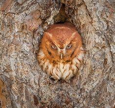 Eastern Screech Owl #cuteanimals #owls