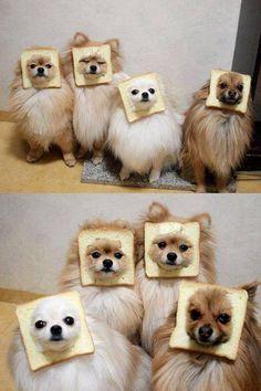 Mensen doen toch de gekste dingen met hun hond. En dat niet erg, zolang het hondje het maar leuk vindt. Zo zijn deze hondjes aan het poseren met een boterham. Vreemd, maar wel grappig.