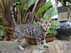 Psy, Bengal, Kangaroo, Cats And Kittens, Pictures, Animals, Baby Bjorn, Photos, Flare