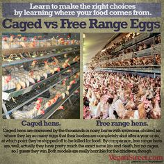 Switching to free range eggs to avoid animal cruelty? Sorry, it doesn't really help. http://veganstreet.com/dailymeme-4-1-15.html