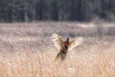 Ring Necked Pheasant, Pheasant Hunting, Google Images, Animals, Animales, Animaux, Animal, Animais