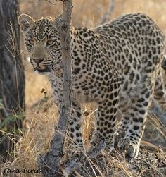 Karula's son Xivambalana, Sept 2011 - Djuma Game Reserve, South Africa