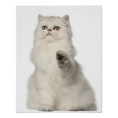 >>>Low Price Guarantee          	Persian cat sitting print           	Persian cat sitting print Yes I can say you are on right site we just collected best shopping store that haveReview          	Persian cat sitting print please follow the link to see fully reviews...Cleck Hot Deals >>> http://www.zazzle.com/persian_cat_sitting_print-228830118088710988?rf=238627982471231924&zbar=1&tc=terrest