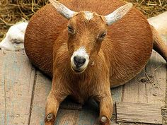 My favorite goat pic ever.. From chickensintheroad.com