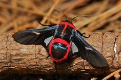 Picture Winged Moth (Glanycus insolatus) Male