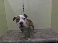 SAFE --- Manhattan Center    DAFFY - A0999627   *** SAFER: EXPERIENCED HOME ***   MALE, TAN / WHITE, PIT BULL MIX, 5 yrs  STRAY - STRAY WAIT, NO HOLD  Reason STRAY   Intake condition NONE Intake Date 05/12/2014, From NY 10453, DueOut Date 05/15/2014  https://www.facebook.com/photo.php?fbid=804207319592149&set=a.617938651552351.1073741868.152876678058553&type=3&permPage=1